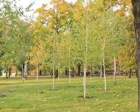 Árboles de abedul finos, jovenes en un césped verde en el parque municipal Imagen de archivo