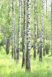 Árboles de abedul hermosos con la corteza de abedul blanco en arboleda del abedul Fotos de archivo