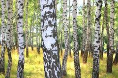 Árboles de abedul hermosos con la corteza de abedul blanco en arboleda del abedul Imagen de archivo libre de regalías