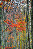 Árboles de abedul hermosos con las hojas de otoño Imagen de archivo libre de regalías