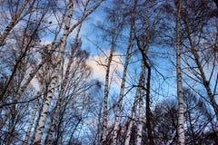 Árboles de abedul hermosos contra el cielo azul con las nubes Imagenes de archivo