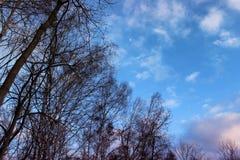 Árboles de abedul hermosos contra el cielo azul con las nubes y la luna Fotografía de archivo libre de regalías