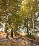Árboles de abedul hermosos del otoño Fotografía de archivo libre de regalías