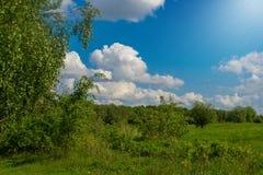Árboles de abedul hermosos en el borde soleado del bosque Foto de archivo
