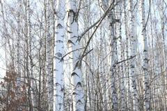 Árboles de abedul hermosos en invierno Fotografía de archivo