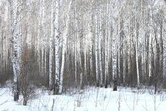 Árboles de abedul hermosos en invierno Fotografía de archivo libre de regalías