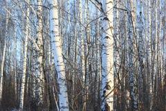 Árboles de abedul hermosos en invierno Foto de archivo libre de regalías
