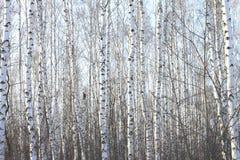 Árboles de abedul hermosos en invierno Fotos de archivo
