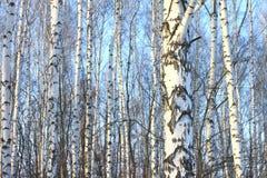 Árboles de abedul hermosos en invierno Foto de archivo