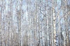 Árboles de abedul hermosos en invierno Imagen de archivo libre de regalías