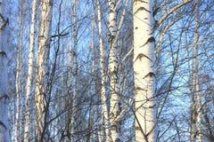 Árboles de abedul hermosos en invierno Imágenes de archivo libres de regalías