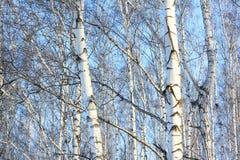 Árboles de abedul hermosos en invierno Fotos de archivo libres de regalías