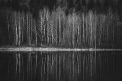 Árboles de abedul hermosos en la orilla del lago Foto de archivo libre de regalías