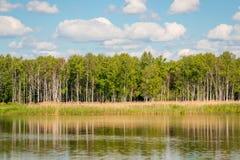 Árboles de abedul hermosos en la orilla de un lago tranquilo Imagen de archivo