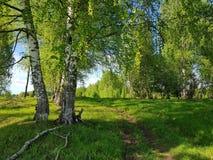 Árboles de abedul, hierba verde y rastro que camina Escena del resorte fotos de archivo