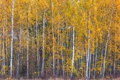 Árboles de abedul, hojas del amarillo Fotografía de archivo libre de regalías