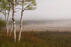 Árboles de abedul II Foto de archivo libre de regalías