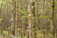 Árboles de abedul jovenes Foto de archivo libre de regalías