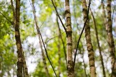 Árboles de abedul jovenes Fotografía de archivo libre de regalías