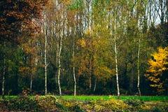 Árboles de abedul jovenes con las hojas de otoño en campo Foto de archivo