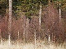 Árboles de abedul jovenes con los pinos Fotos de archivo libres de regalías