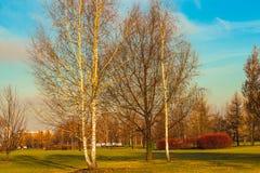 Árboles de abedul jovenes en último otoño en el parque Foto de archivo libre de regalías
