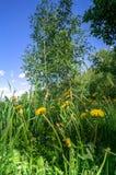 Árboles de abedul jovenes en el claro floreciente, encendido por luz del sol de la mañana, suburbios de Moscú, Rusia Fotos de archivo libres de regalías
