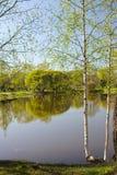 Árboles de abedul jovenes en el lago Fotografía de archivo libre de regalías