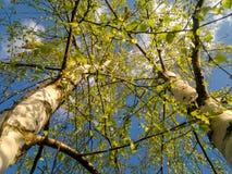 Árboles de abedul jovenes en el sol Fotos de archivo
