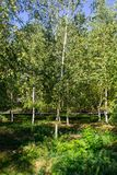 Árboles de abedul jovenes en parque de la ciudad Fotos de archivo
