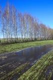 Árboles de abedul jovenes en un campo en primavera Fotografía de archivo libre de regalías