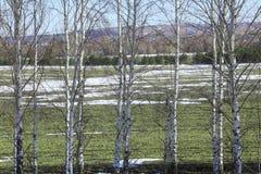 Árboles de abedul jovenes en un campo en primavera Foto de archivo