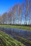 Árboles de abedul jovenes en un campo en primavera Imágenes de archivo libres de regalías