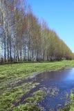 Árboles de abedul jovenes en un campo en primavera Fotos de archivo