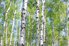 Árboles de abedul jovenes hermosos con las hojas verdes Foto de archivo libre de regalías