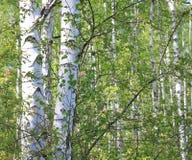 Árboles de abedul jovenes hermosos con las hojas verdes Imagen de archivo libre de regalías