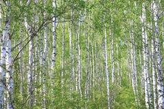 Árboles de abedul jovenes hermosos con las hojas verdes Imágenes de archivo libres de regalías