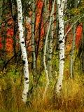 Árboles de abedul de la caída con los árboles de arce en fondo Fotografía de archivo