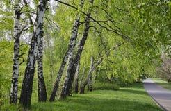 Árboles de abedul a lo largo de la acera Fotos de archivo libres de regalías
