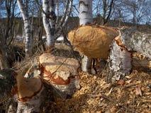 Árboles de abedul masivos derribados por el castor Imagenes de archivo