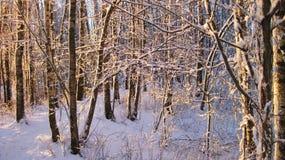 Árboles de abedul Nevado, Lituania Imagen de archivo