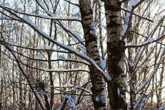 Árboles de abedul nevados en un bosque del invierno Fotografía de archivo