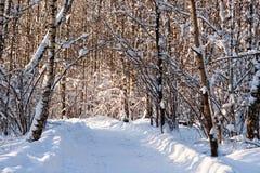 Árboles de abedul nevados en un bosque del invierno Foto de archivo libre de regalías