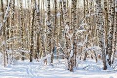 Árboles de abedul nevados en un bosque del invierno Foto de archivo