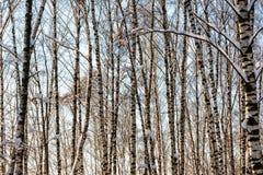 Árboles de abedul nevados en un bosque del invierno Fotografía de archivo libre de regalías