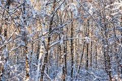 Árboles de abedul nevados en un bosque del invierno Imagen de archivo libre de regalías