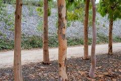 Árboles de abedul de plata australianos nativos en los jardines botánicos reales Foto de archivo