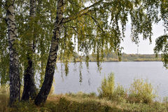 Árboles de abedul por el lago en un día nublado del otoño Imagen de archivo libre de regalías