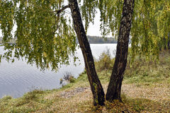 Árboles de abedul por el lago en un día nublado del otoño Fotografía de archivo libre de regalías