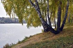 Árboles de abedul por el lago en un día nublado del otoño Fotos de archivo